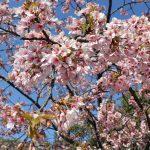 大阪箕面の桜?とフォレスター ?